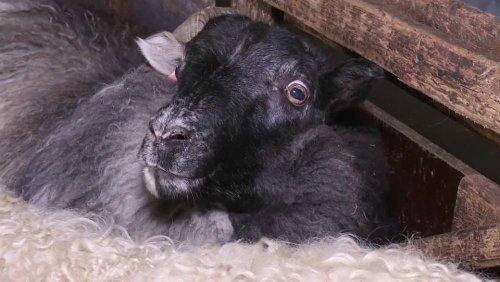 Helmingur, das schwarz-weiße Schaf mit nur einem Horn