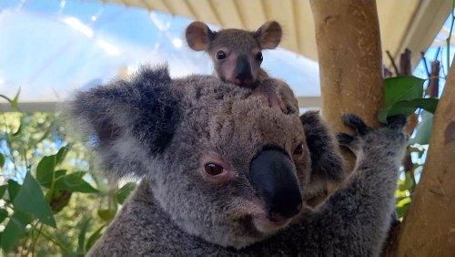 Sydney zoo celebrates newest addition to koala pack
