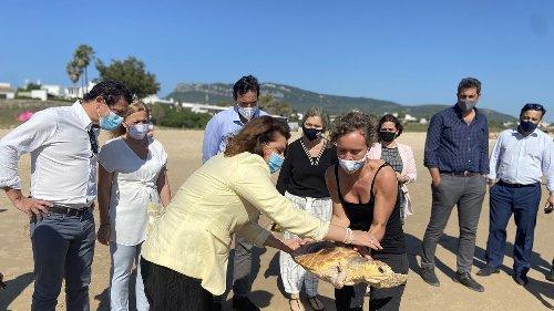 Una tortuga boba vuelve al mar en Bolonia tras recuperarse en el Cegma de Algeciras