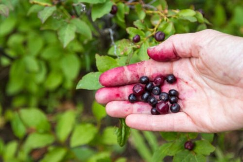 9 Fun Facts About Huckleberries, the Unofficial State Fruit of Montana