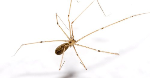 Expert on what to do when a daddy long legs is in your home