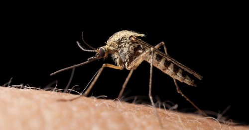 Deadly disease-riddled mosquitos are heading to the UK