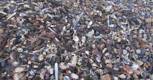 Massacre as piles of sea creatures wash up on Yorkshire beaches