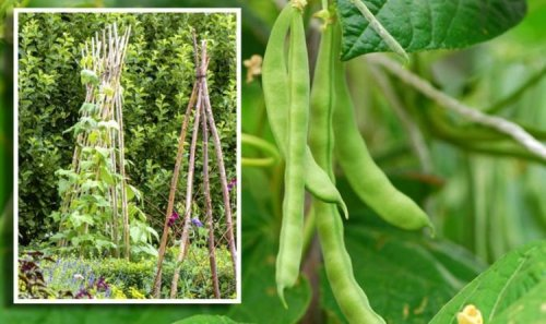When to plant out runner beans - the key dates