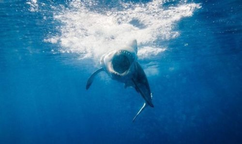 Great white shark infants select waters to practice their hunting skills