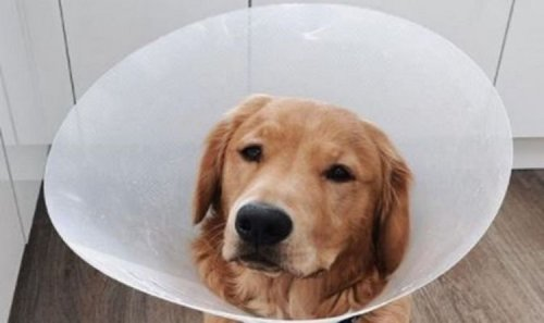 Puppy rushed for surgery after swallowing AirPods - owner amazed they still work