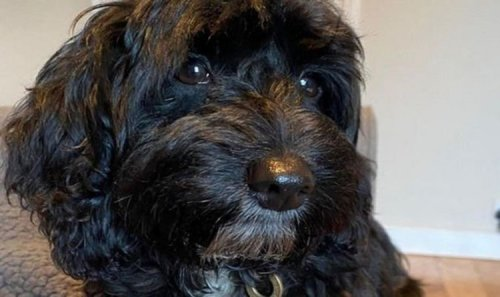 Dog owners warned after puppy nearly died eating pizza 'Even small bits can be dangerous'