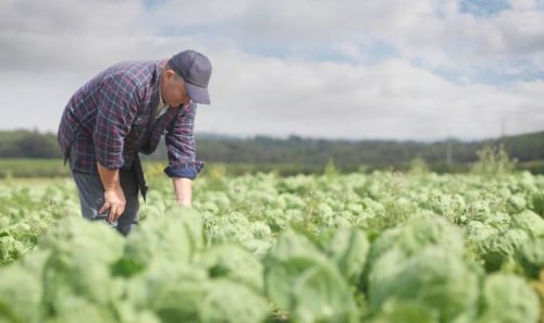 Veggie farm advertises broccoli picking job with hourly rate equivalent to £62,000-a-year