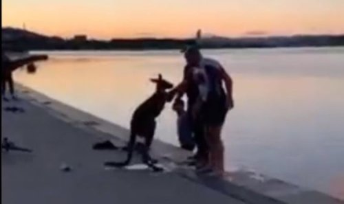 Canberra kangaroo thanks rescuers with handshake after falling in lake - 'Thanking ya'