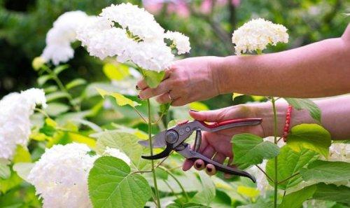 Should you deadhead hydrangeas? Best tips on how to prune