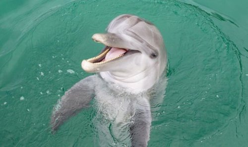 Scientists astounded after dolphins living off coast of Wales develop 'Welsh accent'