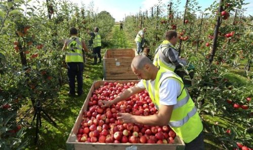 Boomtime for fruit pickers! British farm workers offered £20 an hour after Brexit exodus