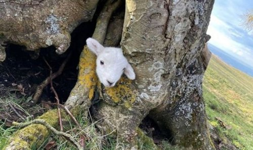 Terrified lamb trapped in a tree rescued by hero tattooists and reunited with mum- Video