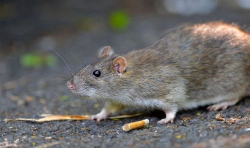 'Infestations everywhere' as 1.3M rodents invade city: 'Worst rat plague I've ever seen'