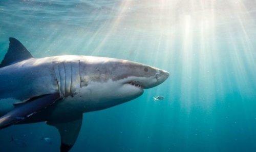 'Brilliant f***ing idea' Great white sharks terrify camera crew amid feeding ground frenzy