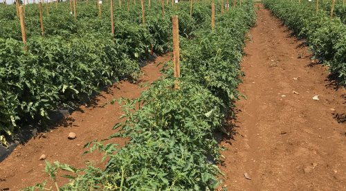 Researchers Make 'Super-Tomatoes' With Genetically Stressed Root Grafts - ExtremeTech