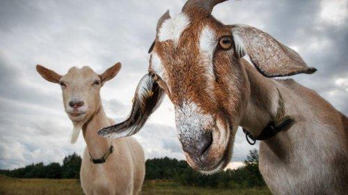 Donald Trump utilise des chèvres pour faire fondre sa taxe foncière