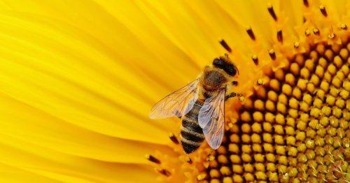 Wie lange lebt eine Biene? Wissen über die Lebensdauer