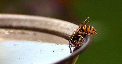 Wie lange leben Wespen? Für Kinder erklärt