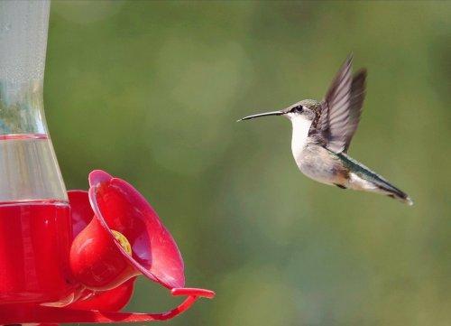 How to Make a DIY Hummingbird Nectar Recipe