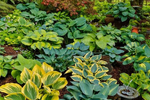 How to Keep Deer and Other Pests Away from Your Hostas
