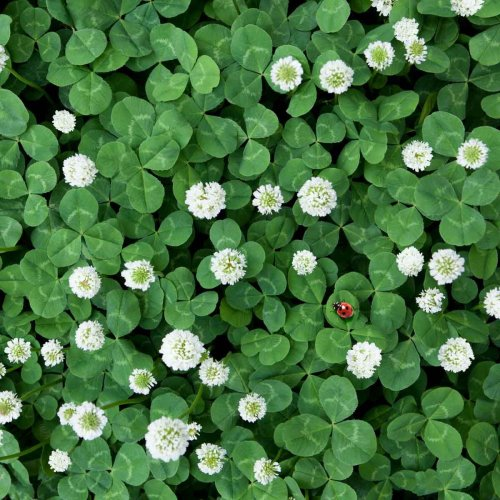 Clover Grass: Love It or Treat It?