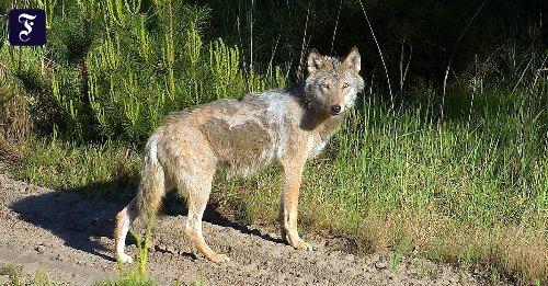 Analyse genetischer Proben: Wölfe breiten sich in Deutschland sprunghaft aus