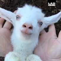 Goat Plays Peek-a-boo