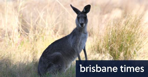 Hopping mad: US campaign to ban kangaroo imports gains bipartisan support
