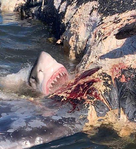 A Whale Carcass Triggers a Great White Shark Feeding Frenzy off South Carolina