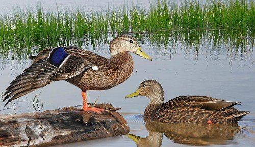 It's Official, North America Has a New Duck Species