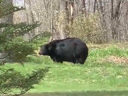 Video: Why Did This Giant Black Bear Emerge from His Den So Early?