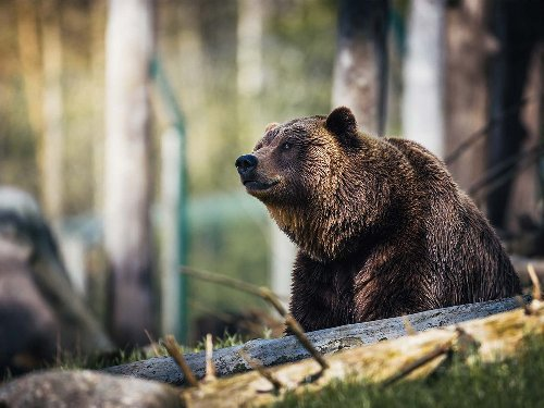 What Should You Do If a Grizzly Bear Attacks?