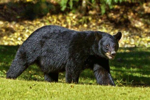 Colorado Woman Killed and Partially Eaten in Rare Black Bear Attack