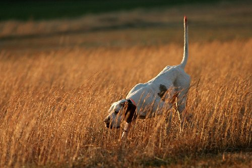 The 21 Best Hunting Dog Breeds Ever