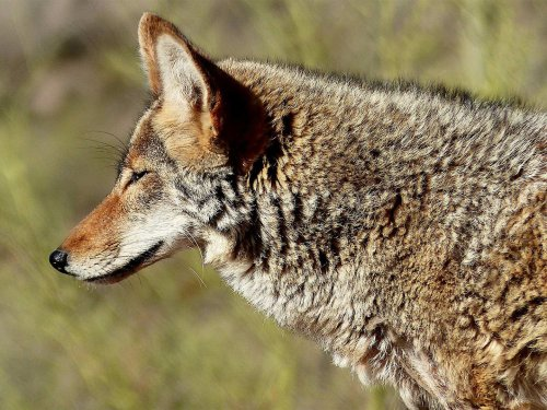 The 5 Best Rimfire Loads for Hunting Coyotes