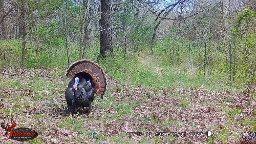 How to Use Trail Cameras to Tag More Turkeys