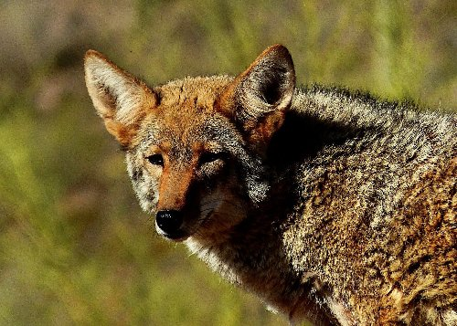 Maine's Proposed Coyote Hunting Law Might Transform Hunting-Dog Use Forever