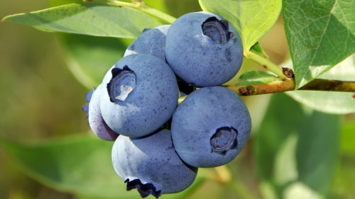 You Can Grow Your Own Blueberry Bush From a Single Berry