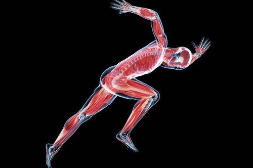 Der Unterschied zwischen roten und weißen Muskelfasern – und wie man sie trainiert