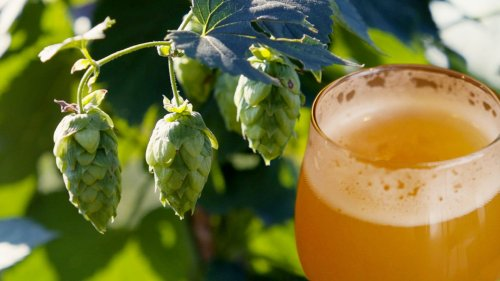 Hopped Up: Brewing Beer with Fresh Hops from Kansas