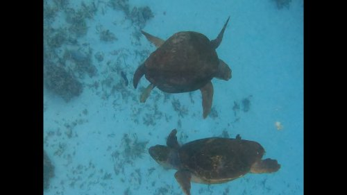 Two turtles engage in mating dance