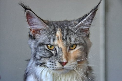WHY IS THIS THE MOST POPULAR CAT BREED IN NORTH AMERICA?