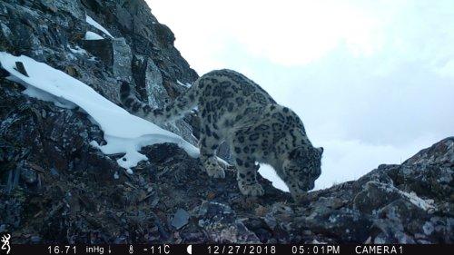 Rare snow leopards caught on camera