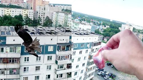 'Man feeds bird of prey from his balcony in Novosibirsk, Russia'