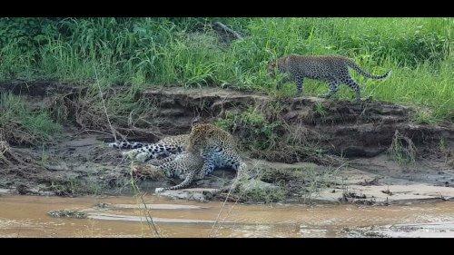 Leopard tends cubs by riverside