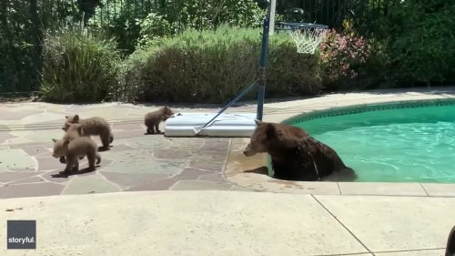 Mama Bear Takes Quick Dip in Backyard Pool as Cubs Watch on