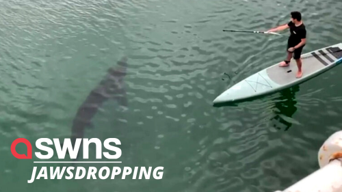 Basking shark caught swimming near paddleboarders in British harbour (RAW)