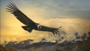 This Condor Can Fly 100 Miles Without Flapping its Wings