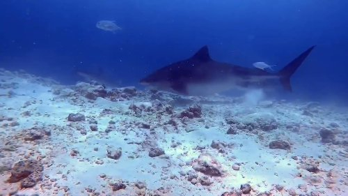 Tiger Shark Comes Dangerously Close to Diver